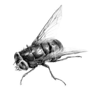 Fliege | Bleistift | 21 x 28