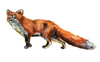 Fox 3 | Tusche und Aquarell | 5 x 10