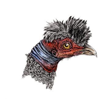 Haubenperlhuhn|Siebdruck nach Zeichnung & handcoloriert|50x40