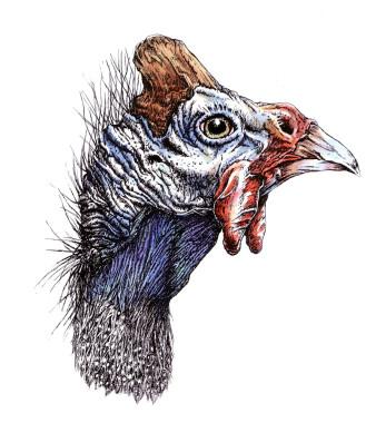 Helmperlhuhn|Siebdruck nach Zeichnung & handcoloriert|50x40