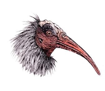 Ibis|Siebdruck nach Zeichnung & handcoloriert|50x40