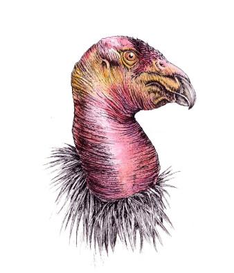 Kalifornischer Kondor|Siebdruck nach Zeichnung & handcoloriert|50x40