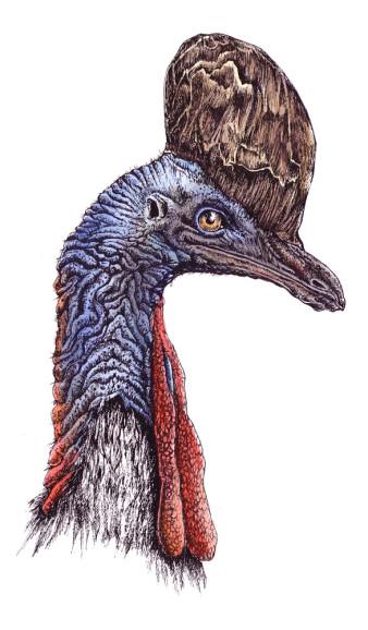 Kasuar|Siebdruck nach Zeichnung & handcoloriert|50x40