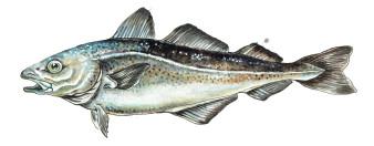 Köhlerfisch | Aquarell | 18 x 30