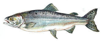 Pink Salmon | Aquarell | 18 x 30