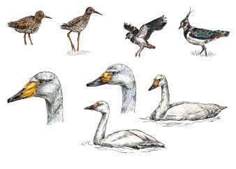 Schwäne & Wasservögel | Tusche & Aquarell | 20 x 30