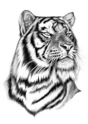 Tiger 1 | Bleistift | 25 x 18