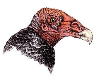 Truthahngeier|Siebdruck nach Zeichnung & handcoloriert|50x40